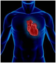 le-coeur-la-formule-1-du-systeme-circulatoire